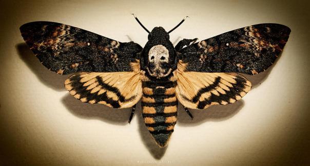 deaths-head-hawk-moth-lomo-weston-westmoreland